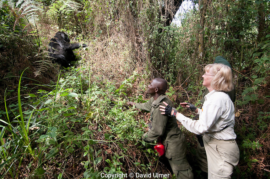 Tourist and guide with a close encounter with a mountain gorilla.  Bwindi Impenetrable Forest, Uganda.