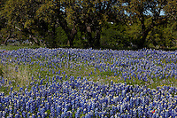 Huge field of Bluebonnets surround Texas Live Oak Trees in the Hill Country