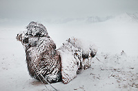 A Bactrian Camel dusted with snow, chilling out after a 3 day snow storm..In and around Ech Keli, Er Ali Boi's camp, one of the richest Kyrgyz in the Little Pamir...Trekking with yak caravan through the Little Pamir where the Afghan Kyrgyz community live all year, on the borders of China, Tajikistan and Pakistan.