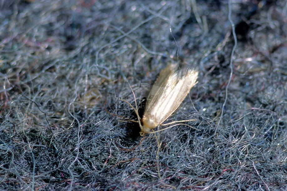 Kleermot (Tineola bisselliella)