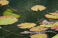 baby Morelet's crocodile, Belize, Caribbean, Atlantic crocodile, or Central American crocodile, Crocodylus moreletii, basking at water's surface, Cabbage Hole Creek, Stann Creek District, Belize, Caribbean, Atlantic, Central America, Caribbean, Atlantic