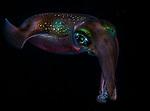 Squid -Sepioteuthis lessoniana, ID Ron Silver
