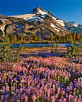 Mt Jefferson and field of lupine along Russell Lake in Mt Jefferson Wilderness, Oregon