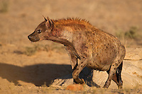 Spotted hyena emerging from waterhole