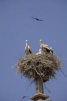 Storks nesting in church steeples. Llieda, Catalan,Spain