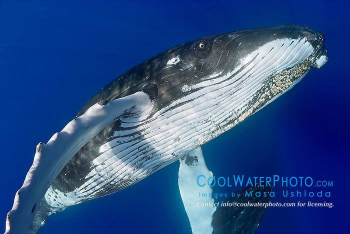 humpback whales, Megaptera novaeangliae, adult female and pursuing male underneath blowing bubbles, note a colony of parasitic acorn barnacles, Cornula diaderma, developed under chin, Hawaii, Pacific Ocean