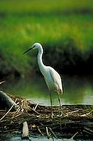 Snowy egret marshland South New Jersey grasslands (Egretta thula). Fairton New Jersey United States east coast marsh.