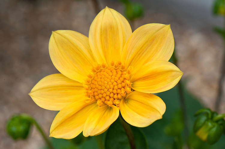 Dahlia 'Golden Margaret', mid August.