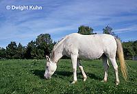 SH06-011z  Arabian Horse - pregnant mare