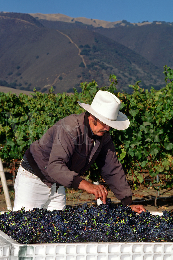 A farm worker inspects & cleans PINOT NOIR GRAPES  freshly picked & headed for the crush - MONTEREY COUNTY, CALIFORNIA