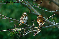 563990050 a pair of wild ferruginous pygmy owls glassidium brasilianum perch in a large tree on a private ranch in tamaulipas state mexico