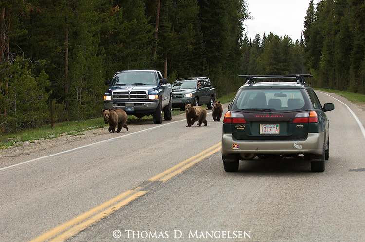 Grizzly No. 399's cubs running across road with tourists watching in Grand Teton National Park, WY