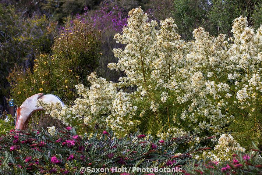 Grevillea paniculata flowering shrub in University of California Santa Cruz Botanic Garden