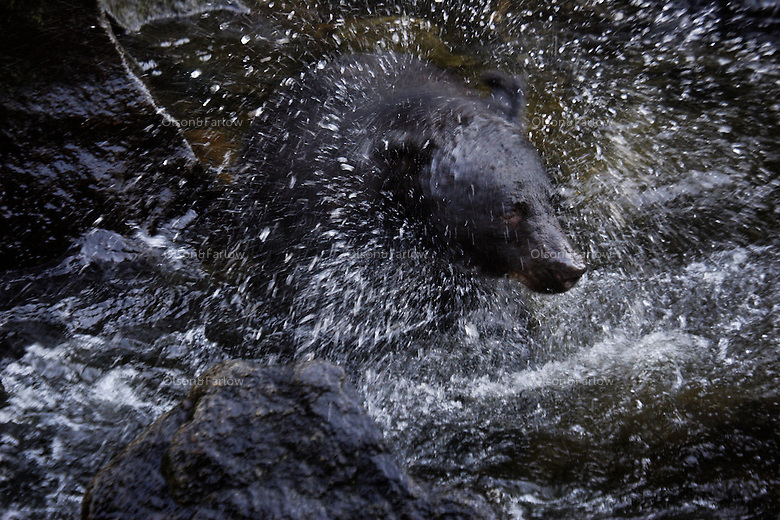 A black bear shakes water from his head while feeding on salmon in Anan Creek near Wrangell by boat onto the mainland.  It is an annual ritual for the bears to fatten up during the heavy run.