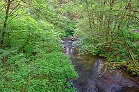 ORSF_D137 - USA, Oregon, Silver Falls State Park, Spring flora; primarily maple and red alder, along North Fork Silver Creek.