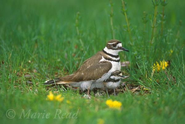 Killdeer (Chardrius vociferus) brooding newly-hatched chick at nest, New York, USA<br /> Slide # B52-261R