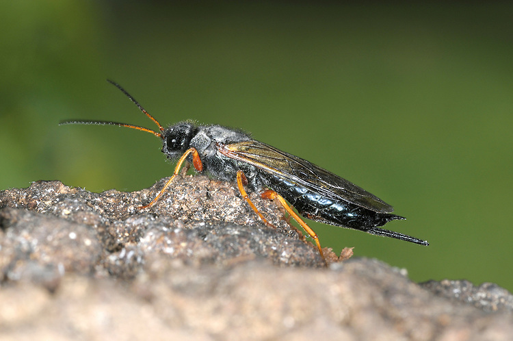 Sirex juvencus - a species of Wood Wasp