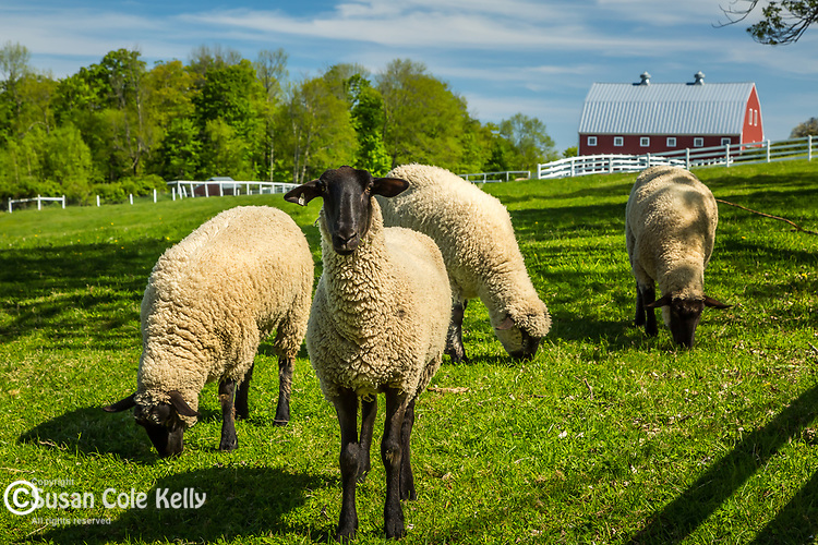 North Star Farms' Suffolk sheep grazing at Pineland Farms in New Gloucester, Maine, USA