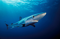 Blue shark, Prionace glauca, California, USA, East Pacific Ocean