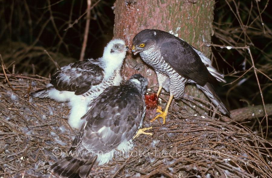Sperber füttert Küken am Nest, Accipiter nisus, northern sparrowhawk, sparrow hawk
