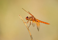 389310019 a wild flame skimmer dragonfly libellula saturata perches on a dead twig near bishop in inyo county california