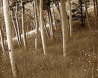 Aspen grove, Cripple Creek, CO. Cripple Creek, Colorado.