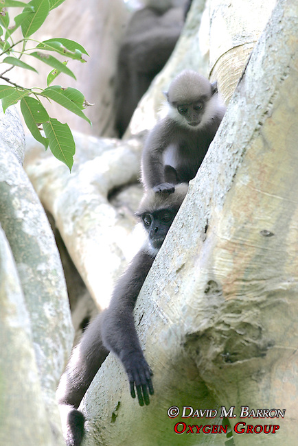 Purple-faced Langur (PPF) Mother And Her Offspring