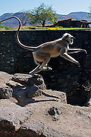 Monkeys at Daulatabad Fort Aurangabad, Once also known as Devgirl !2th Century fort 13 Km from Aurangabad. It was renamed Daulatabad, or the City of Fortune, by then Mohammad bin Tughlag the Sultan of Delhi. India