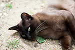 Close up small brown Burmese cat laying on bare ground enjoying warm weather sunshine , UK