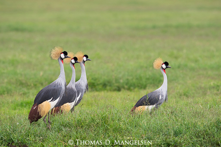 A flock of Crown Cranes stand together in the grass in Ngorongoro, Tanzania.