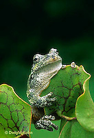 CA01-010z  Gray Tree Frog - on carnivorous pitcher plant - Hyla versicolor