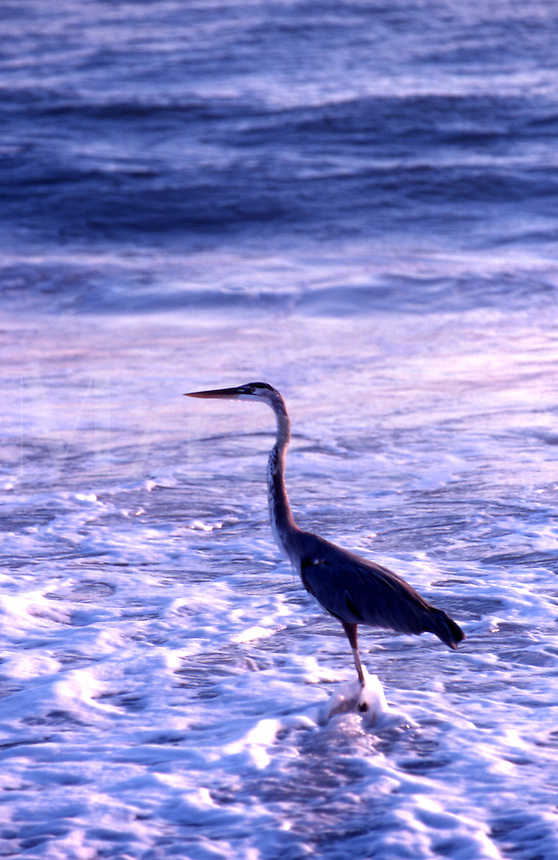 Tri colored Heron, Egretta Tricolor, stalks prey in the early morning between waves on the Florida coast.