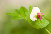 Pea - Snap Flower. Cascadi