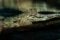 Crocodile in murky swamp water.
