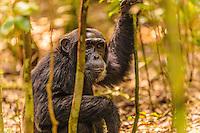 Africa, Uganda , Kibale forest, chimpanzee.Pan troglodytes