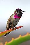 FB-M52   Anna's Hummingbird  2x3 Photo Magnet