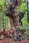 Half of it was felled by a storm in 2014, the Kalaloch Big Cedar Tree remains an ancient, gnarled example of the western redcedar, It's up to 5 trees growing together for nearly a millenium. Olympic National Park, Washington, USA