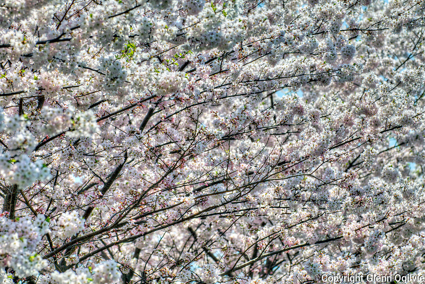 Centennial Park blossoms