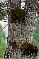 Black Bear sow stands guard at base of tree while her cub watches from the safety of the tree.  Western U.S., fall.