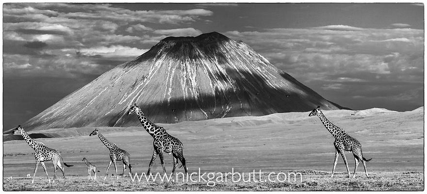 Mixed herd (males, females, young) of Masai giraffe (Giraffa camelopardalis) walking across short grass plains in the shadow of Oldonyo Lengai (Tanzania's only active volcano). Ngorongoro Conservation Area, Tanzania.