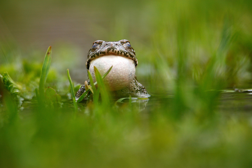 Russia, Caucasus. European green toad (Bufo viridis) displaying and inflating its throat, while closing its eyes, in a pond 2711 m asl in Adylsu valley, a side valley to Baksan valley and Elbrus.