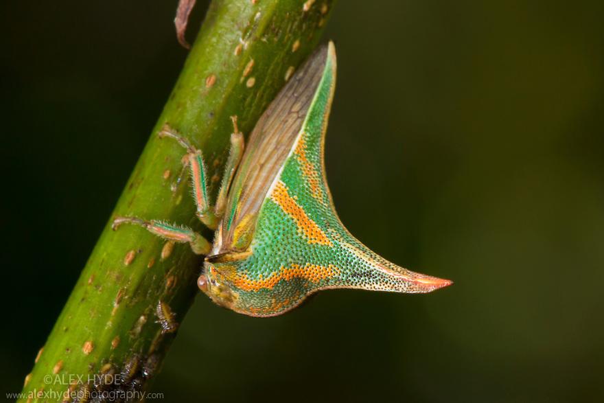Thornbug {Umbonia crassicornis}, San Jose, Costa Rica. May.
