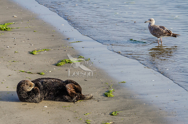 Southern Sea Otter (Enhydra lutris nereis) resting on sandy beach.  California.