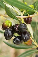 Olives. J Portugal Ramos Vinhos, Estremoz, Alentejo, Portugal