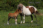 Bob, ANIMALS, REALISTISCHE TIERE, ANIMALES REALISTICOS, horses, photos+++++,GBLA3965,#a#, EVERYDAY