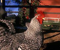Farm chicken, Ladner, Delta, BC, Canada