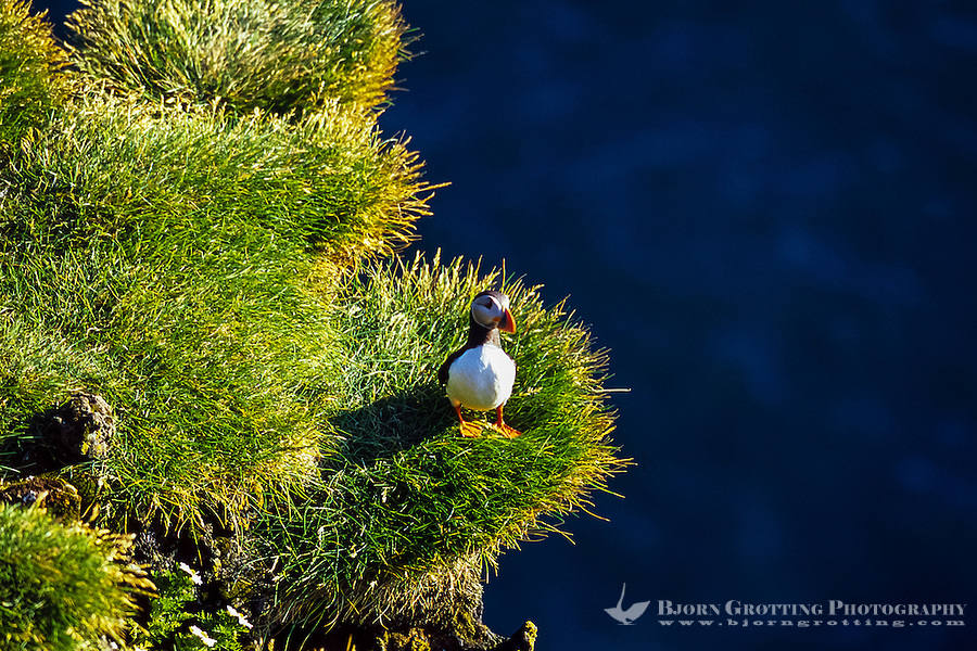 Vestmannaeyjar Islands off the south coast of Iceland. Puffins on southern part of Heimaey.