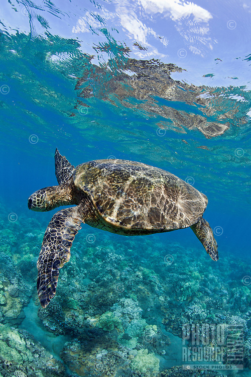 A green sea turtle in Lahaina, Maui.