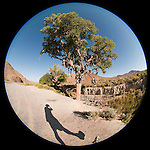 Shoe tree (cottonwood), along US 50 near Middlegate, Nev.