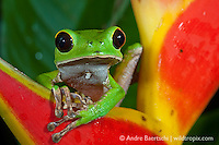 Leaf Frog (Phyllomedusa camba) at night on a heliconia inflorescence (Heliconia stricta) in lowland tropical rainforest, Rio Amigos Conservation Concession, Madre de Dios, Peru